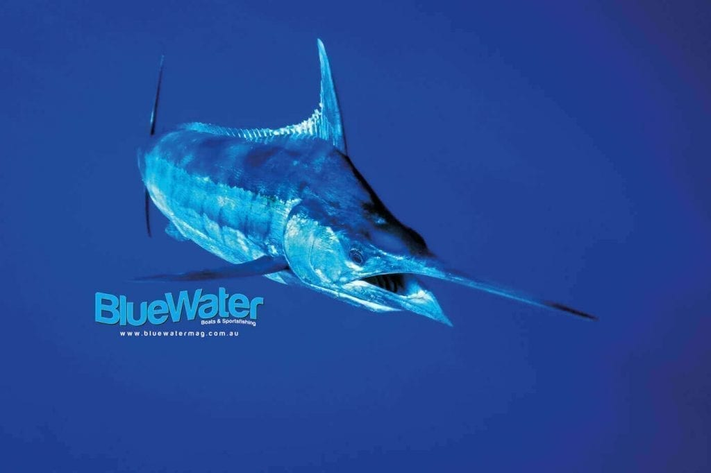 Black and Blue Marlin in Australia's ETBF